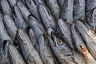Merling or whiting fish at the fish market of Essaouira, Morocco.
