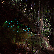 Damian Johansen shows the 'Night Glowworms' during a night walk in the Coromandel Forest with Wincorp Adventures. Coromandel, New Zealand, 1st December 2010. Photo Tim Clayton.