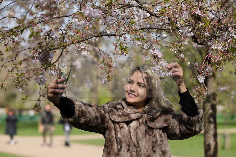 © Licensed to London News Pictures. 26/03/2017. LONDON, UK. A woman takes a selfie photograph with blossom during sunny spring weather in St James's Park, London this lunchtime. Today is the first day of British Summer Time (BST). Photo credit: Vickie Flores/LNP