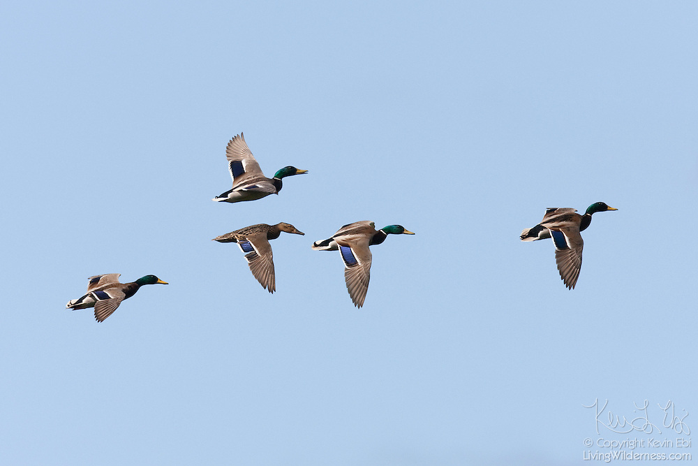 Several mallard ducks (Anas platyrhynchos) - four males and one female - fly above the Green River Natural Preserve in Kent, Washington.