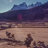 Yaks carrying loads for trekkers pass through potato fieldsin Machhermo village in the Gokyo Valley in the Khumbu region of Nepal's Himalaya.