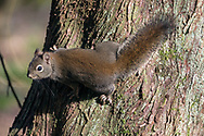 A Douglas Squirrel (Tamiasciurus douglasii)  looks over its shoulder while climbing a tree trunk at Municipal Nature Park in Langley, British Columbia, Canada.
