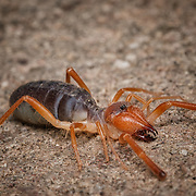 Solifugae is an order of animals in the class Arachnida known variously as camel spiders, wind scorpions, sun spiders, or solifuges.