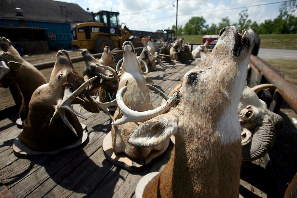 26 September 2012. Braithwaite, Plaquemines Parish, Louisiana,  USA. .A trailer full of hunting trophies parked just off Higway 39. The trophies were damaged following flood water inundation during Hurricane Isaac..Photo; Charlie Varley.