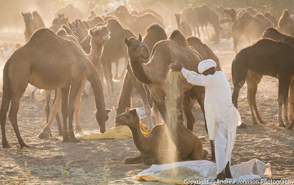 One of the world's largest camel fairs is held in the town of Pushkar, India. Each November at the time of the full moon, historically over 11,000 camels, horses, and cattle are traded over this two week festival. The men were sifting the sand out of the grain to feed their their camels to be traded. We camped on site and witnessed this epic spectacle from dawn to dusk.