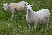 A shorn sheep and a lamb graze on a grassy slope on 20th June 2021 in Datchet, United Kingdom. Sheep are shorn in early spring so that they may grow a new coat before the winter.