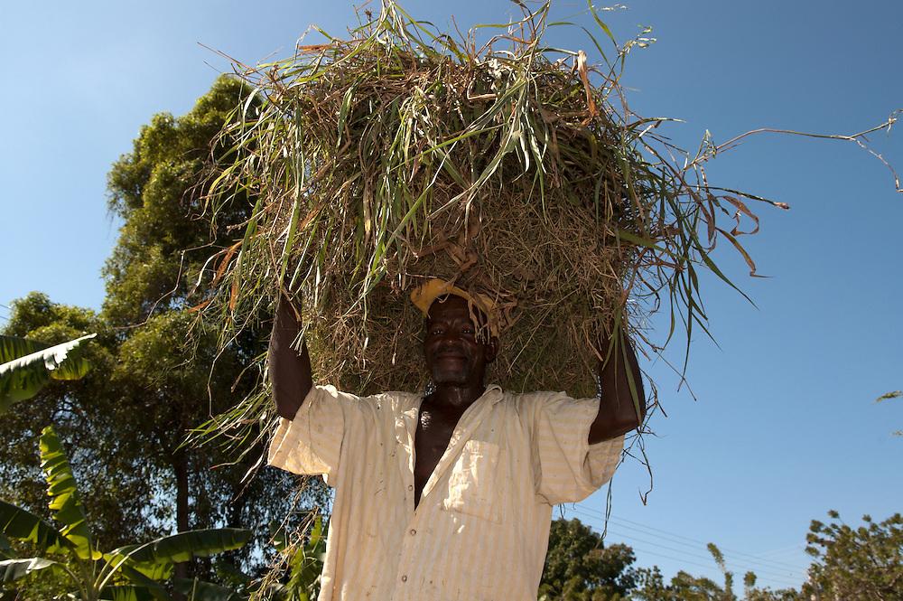 Peasant carrying hay. Souvenance, Haiti, January 23, 2008.