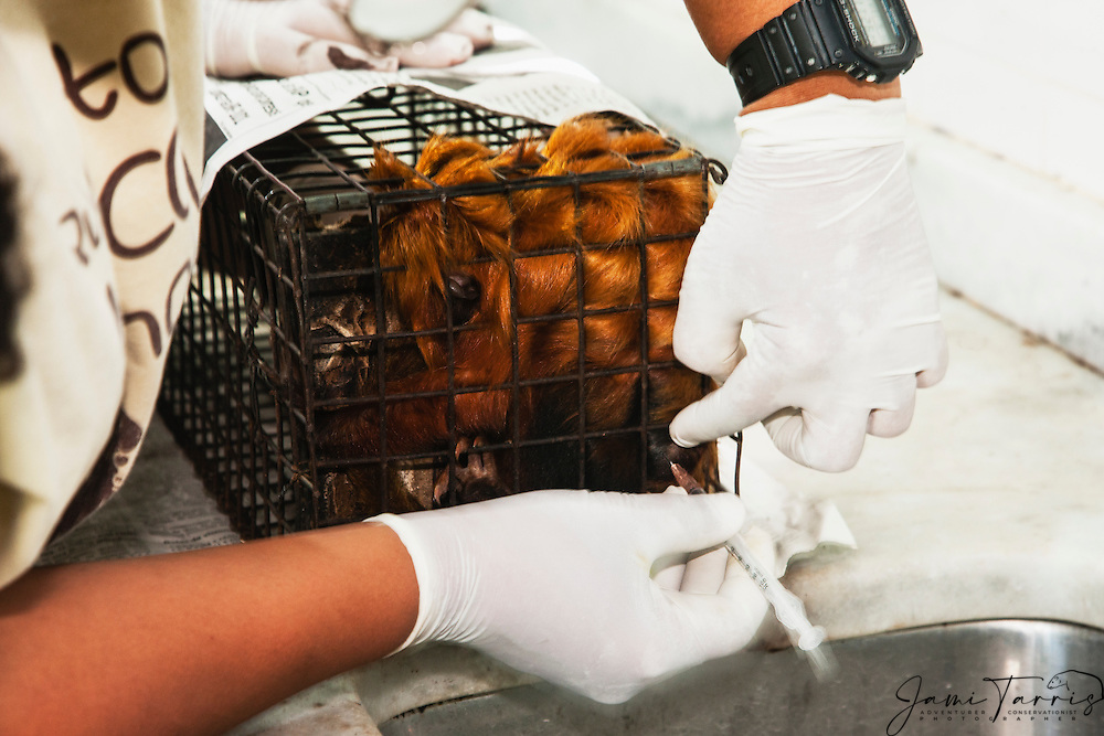 A research biologist injecting a golden lion tamarin in the lab  (Leontopithecus rosalia) with a mild tranquilizer in order to weigh, measure and check the animals for health reasons ,Brasil, South America