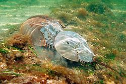 horseshoe crabs, mating (larger female at bottom), Limulus polyphemus, Florida Bay, Everglades National Park, Florida, Gulf of Mexico