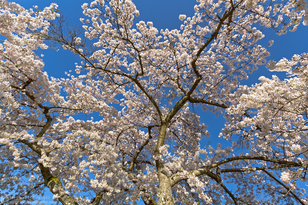 A Cherry tree covered in blossoms at Queen Elizabeth Park in Vancouver, British Columbia, Canada