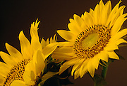 Two sunflower still life photography