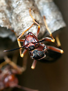 A macro shot of a wasp on its nest.