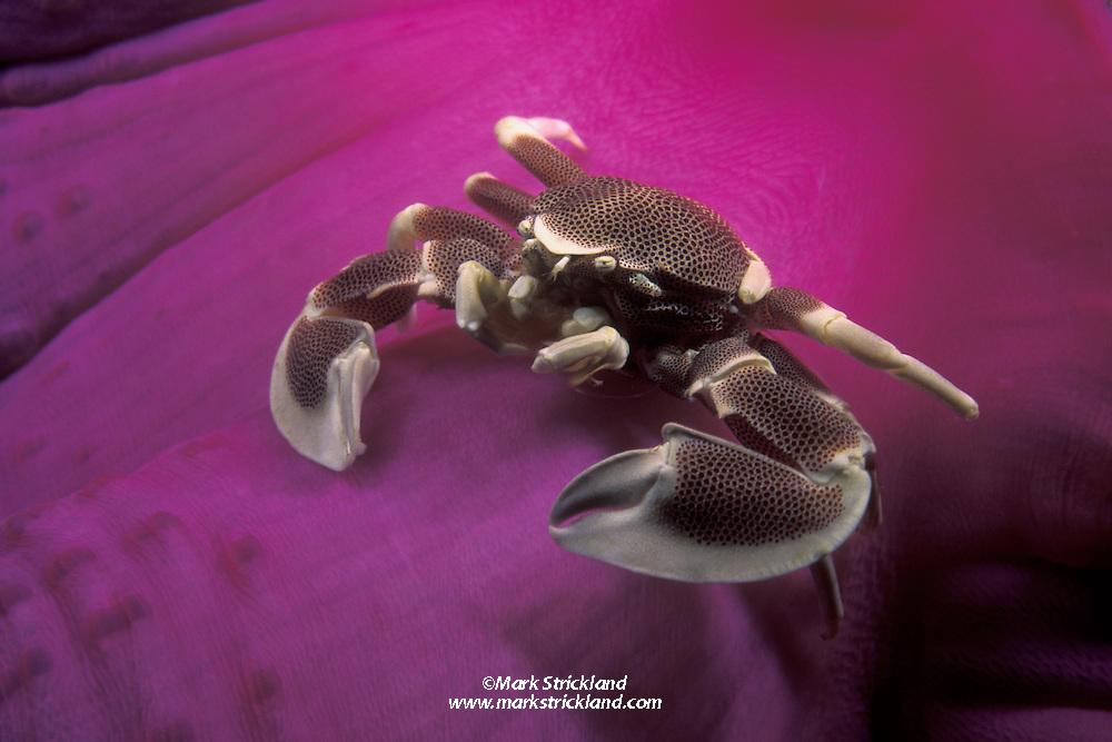 A Porcelain Crab, Neopetrolisthes maculata, perches on the colorful base of its host, a Magnificent Sea Anemone, Heteractis magnifica. Richelieu Rock, Thailand, Andaman Sea, Indian Ocean