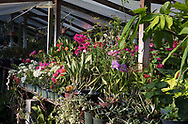 Tropical plants in a greenhouse at the St. Rose Nursery, La Mode, St. George's, Grenada, West Indies, Caribbean