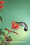 01162-06618 Ruby-throated Hummingbird (Archilochus colubris) immature male on Firebush (Hamelia patens) Madison Co.  MS