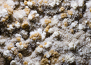 """White and yellow crystals grow in Caverns of Sonora, Sutton County, Texas, USA. The world-class Caverns of Sonora have a stunning and sparkling array of speleothems (helictites, stalactites, stalagmites, flowstone, coral trees, and other calcite crystal formations). National Speleological Society co-founder, Bill Stephenson said, after seeing it for the first time, """"The beauty of Caverns of Sonora cannot be exaggerated...not even by a Texan!"""" Geologically, the cave formed between 1.5 to 5 million years ago within 100-million-year-old (Cretaceous) Segovia limestone, of the Edward limestone group. A fault allowed gases to rise up to mix with aquifer water, making acid which dissolved the limestone, leaving the cave. Between 1 and 3 million years ago, the water drained from the cave, after which speleothems begain forming. It is one of the most active caves in the world, with over 95% of its formations still growing. Sonora Caves are on Interstate 10, about half-way between Big Bend National Park and San Antonio, Texas."""