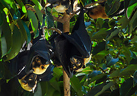 Group of Bats or flying foxes hanging in a tree. Wildlife and nature photography wall art. Fine art photography prints.