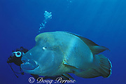 giant humphead wrasse ( aka Napoleon or Maori wrasse ) <br /> Cheilinus undulatus, Layang Layang Atoll, Spratly Islands,<br /> Malaysia  ( South China Sea )  MR 284