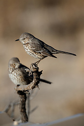 Sage thrashers on perch, Ladder Ranch, west of Truth or Consequences, New Mexico, USA.