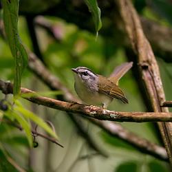 Pula-pula (Basileuterus culicivorus) fotografado em Goiás - Centro-Oeste do Brasil. Bioma Cerrado. Registro feito em 2015.<br /> ⠀<br /> ⠀<br /> <br /> <br /> <br /> <br /> ENGLISH: Golden-crowned Warbler photographed in Goias - Midwest of Brazil. Cerrado Biome. Picture made in 2015.