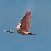 Roseate Spoonbill (Ajaia ajaja) In flight. Breeding plumage. Near Boca Grande, Florida.