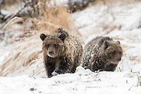 Grizzly Bears in snow