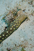 Sharptail Eel (Mynchthys breviceps)<br /> BONAIRE, Netherlands Antilles, Caribbean<br /> HABITAT & DISTRIBUTION: Shallow grass beds to rocky rubble to reefs.<br /> Florida, Bahamas, Caribbean, Gulf of Mexico & Bermuda.