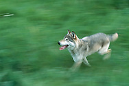 Wolf running in mountain meadow, blur-pan style, Montana [This animal was born and raised in captivity, and is not releasable, photographed in an outdoor setting in Montana.] © David A. Ponton