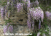 Chinese Wisteria, wisteria sinensis, Highlands Mansion and Gardens, Philadelphia Gardens and Arboretums, Montgomery Co., PA