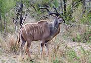 Male greater kudu (Tragelaphus strepsiceros) feeding in Kruger NP, South Africa.