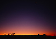 Horses on the horizon of a South Dakota prairie at the break of dawn.