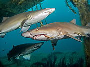 Sand Tiger sharks inside the Aeolus shipwreck in North Carolina, USA