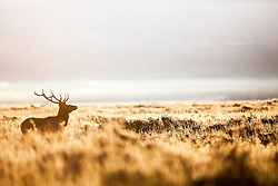 Golden Morning Elk,  the frosty sage of autumn lights up like a golden candle the minute the sun breaks over the eastern horizon in late September. Sometimes an elk will be there.