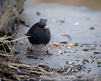 Dark-eyed Junco. Image taken with a Nikon D5 camera and 600 mm f/4 VR lens (ISO 1800, 600 mm, f/4, 1/640 sec).