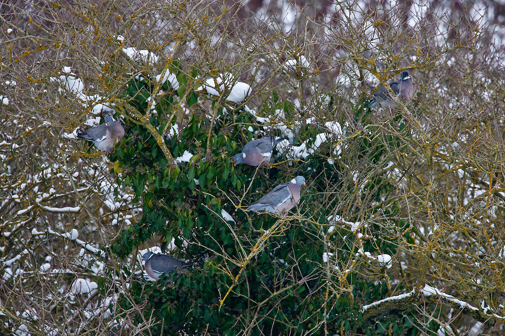 Wood pigeon flock foraging on ivy berries within an old tree in The Cotswolds, UK
