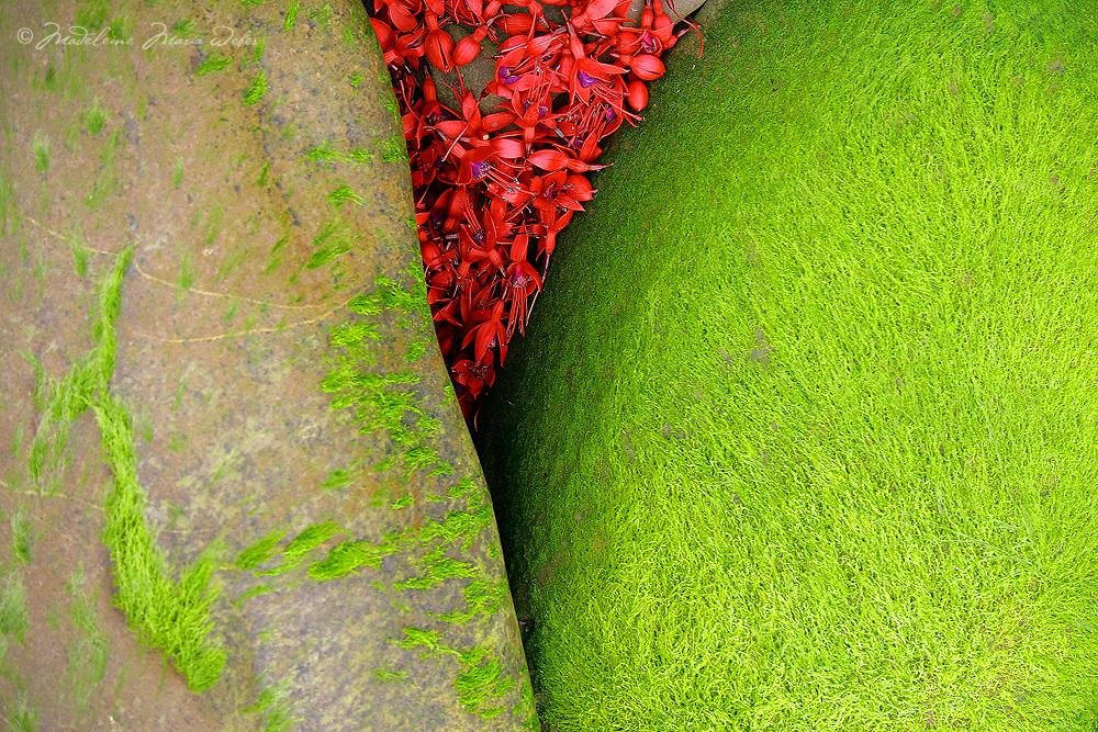 Irish Wild Flower Fuchsia and moosy Stones / fa036