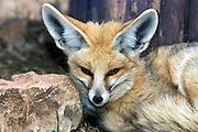 Red fox Vulpes vulpes in winter coat