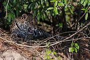 Jaguar (Panthera onca palustris) resting on the banks of Cuiabá River, Pantanal, Brazil.