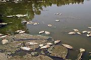 Nederland, Ooijpolder, 23-6-2020 In een opdrogende waterpoel liggen enkele tientallen vissen die zijn gestorven wegens zuurstoftekort vanwege het lage waterpeil in de plas.. De poel vult zich tijdens hoogwater van de rivier de Waal, Rijn, waardoor de vissen opgesloten komen te zitten als het water weer zakt, bij laagwater . De poel wordt door wilde runderen en paarden gebruikt als drinkplaats, maar door de vele dode vissen stinkt het en is de waterkwaliteit niet meer optimaal. rivierengebied, rivierenland, uiterwaarden, rivierenlandschap, rivierlandschap . Uiteindelijk zal de plas droogvallen . Foto: Flip Franssen