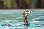 Great Cormorant, Phalacrocorax carbo ctre cigognes loutres hunawihr alsace france
