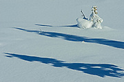 Coniferous tree saplings in snow, Kootenay National Park, British Columbia, Canada