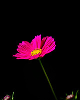 Cosmos Flower. Image taken with a Fuji X-T2 camera and 100-400 mm OIS lens (ISO 200, 400 mm, f/5.6, 1/220 sec).