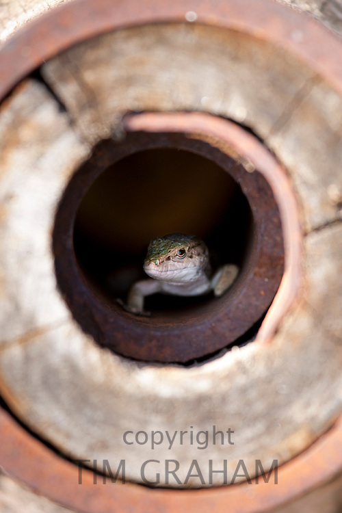 Lizard hiding in old farmyard cartwheel at wine estate of La Fornace in Val D'Orcia, Tuscany, Italy