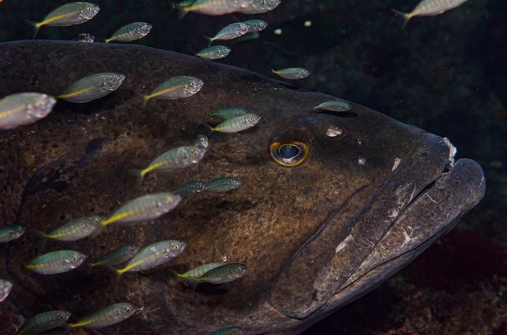 Kermadec, Kermadec Islands, Rangitāhua, New Zealand, remote, diving, rare, nz,spotted, black, groupers, groper, Epinephelus, daemelii,