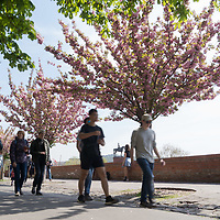 People walk under cherry blossom in Budapest, Hungary on April 15, 2019. ATTILA VOLGYI