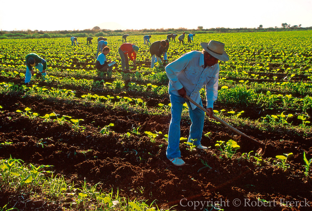 MEXICO, AGRICULTURE, SINALOA workers in the rich Pacific coastal plain