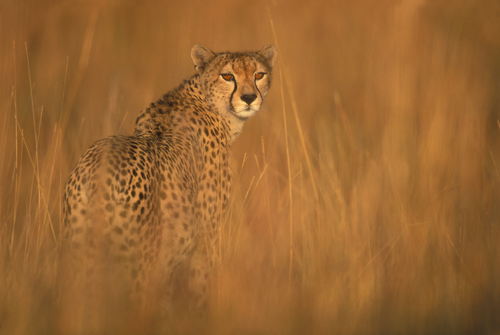 Africa, Kenya, Masai Mara Game Reserve, Adult Female Cheetah (Acinonyx jubatas) standing in tall grass on savanna