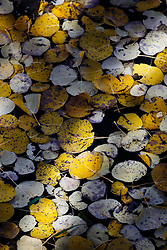 Aspen leaves in autumn, floating in ephemeral pond, Vermejo Park Ranch, New Mexico, USA.