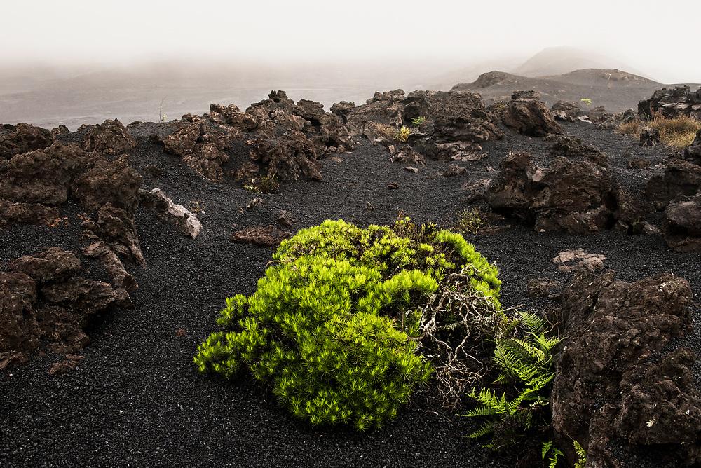 Narrow-leafed Darwin Bush (Darwiniothamnus tenuifolis)<br /> Sierra Negra Volcano<br /> Isabela Island, <br /> GALAPAGOS,  Ecuador, South America