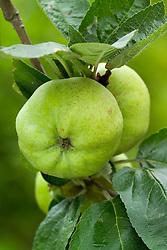 Apple 'Calville Blanc d'Hiver' - Malus